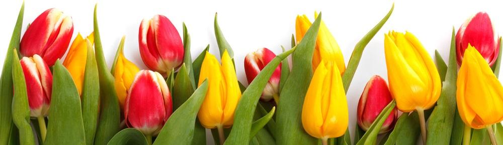 tulips-short